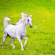 Gray Arab horse — Stock Photo #40803899