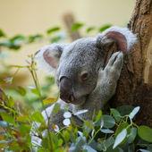Koala bear in forest — Stock Photo