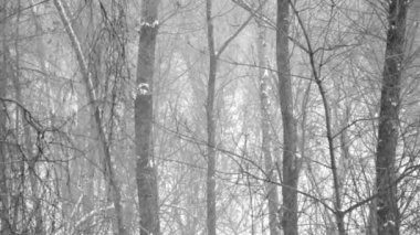 Heavy snowfall in the wood. Forest trees covered with new falling snow — Stock Video