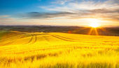 Field of ripe wheat in the rays of the rising sun. — Stock Photo