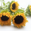 Stock Photo: Isolated sunflowers wit leaves