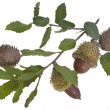 Stock Photo: Acorns with leaves
