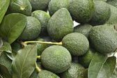 Avocados Growing on Tree — Stock fotografie