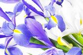 Blue and white iris — Stock Photo