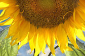 Background with sunflower — Stock Photo