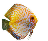Tropical fish diskus — Stock Photo