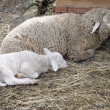 Stock Photo: Sheep with the lamb