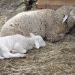 Sheep with the lamb — Stock Photo