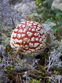 Red fly agaric — Stock Photo