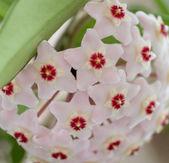 Hoya Flowers_3 — Stock Photo