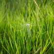 Background with green grass and thistle seed_2 — Stock Photo