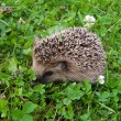 The little hedgehog in clover — Stock fotografie
