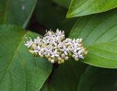 Flowering snowberry (Symphoricarpos)_2 — Stock Photo