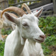 White goat_2 — Stock Photo