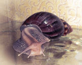 Snail Achatina_2 — Stock Photo
