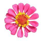 Bright pink flower — Stock Photo