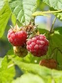 Raspberry. plant. leaves. — Stock Photo