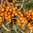 Sea-buckthorn — Stock Photo #12565775