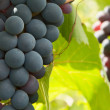 Grapes — Stock Photo #12565790