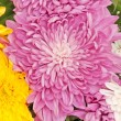 Chrysanthemum — Stock Photo #12565808