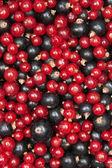 红醋栗和黑醋栗 — 图库照片