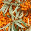 Sea-buckthorn - 图库照片