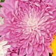 Chrysanthemum — Stock Photo #15332489