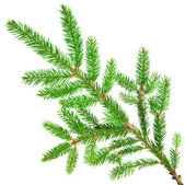 Green fir — Stock Photo