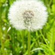 White dandelion — Stock Photo