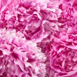 Peonies — Stock Photo #18969173