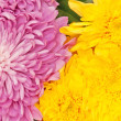 Stock Photo: Chrysanthemum