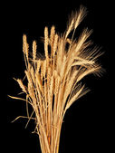 Wisp of wheat and rye — Stock Photo