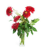 Red dahlias — Stock Photo