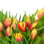 Tulips — Stock Photo #21302451