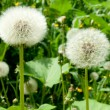 White dandelion — Stock Photo #21686351