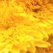 Chrysanthemum — Stock Photo #21686883