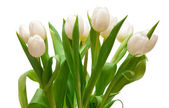 белые тюльпаны — Стоковое фото