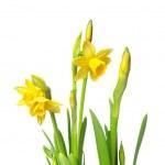 Постер, плакат: Narcissus