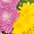 Chrysanthemum — Stock Photo