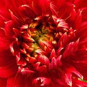 Red dahlia — Foto de Stock