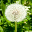 White dandelion — Stock Photo #34174017