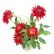 Red dahlias — Stock Photo #35999145