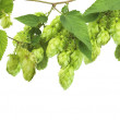 Hop isolated on white — Stock Photo #15549283