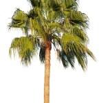 Palm tree isolated — Stock Photo #15552431