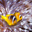 Stock Photo: Clown fish in an anemone