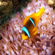Clown fish in an anemone — Stock Photo #15557065