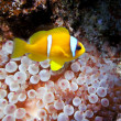 Clown fish in an anemone — Stock Photo #15557097