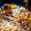 Clown fish in an anemone — Stock Photo #15557597