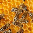 Macro of working bee on honeycells. - Foto de Stock