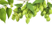 Hop isolated on white — Stockfoto